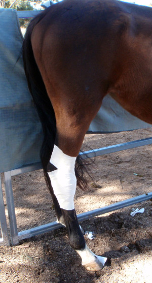 Treating a horse's leg with honey