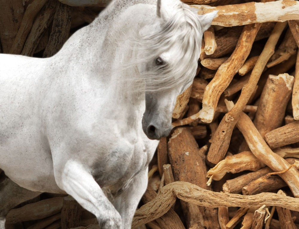 Ashwagandha: the strength of a Stallion