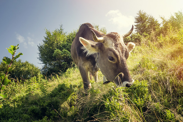 cow eating grass in meadow
