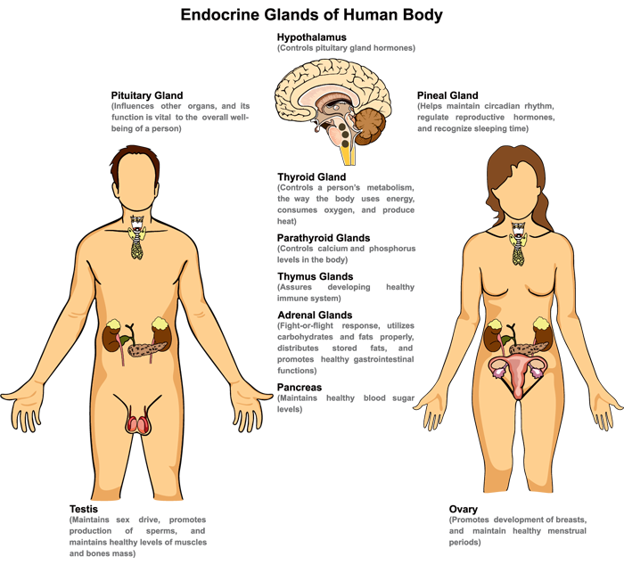 Endocrine Glands of Human Body