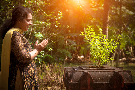 """Tulsi is referred to in Ayurvedic texts as """"Queen of Herbs,"""" """"The Incomparable One,"""" or the """"Mother Medicine of Nature"""