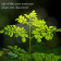 Moringa leaf is one of the most nutritious plants ever discovered