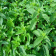 Peppermint plant and leaves