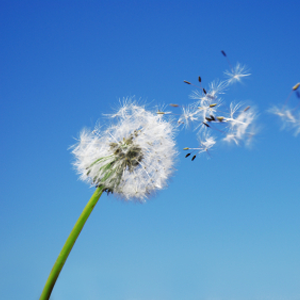 dandelion seeds on a blue sky background