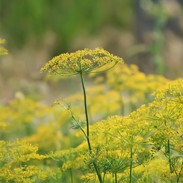 Sweet Fennel